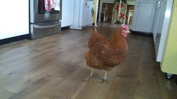 chicken in house